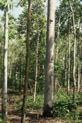 cameroun forêt secondaire du Sud.jpg
